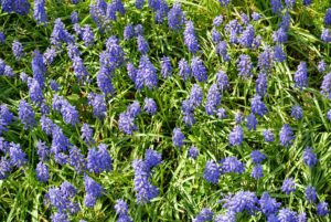 Muscari is a genus of perennial bulbous plants native to Eurasia. Most may know it by its common name grape hyacinth. Muscari appears as spikes of dense urn-shaped flowers resembling bunches of grapes in shades of blue.