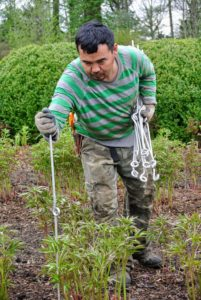 Here, Chhewang inserts a stake every five-feet around the perimeter of each row. My peony garden is planted with 11 double rows of 22 herbaceous peony plants, 44 in each row of the same variety.