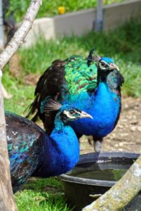 These birds are so photogenic with their iridescent blue necks – so handsome.