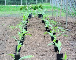 Ryan positions them about two to three feet apart to give them enough room to grow. Artichokes thrive best under full sun with deep, fertile, well-drained soil.