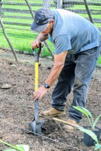 Carlos begins by digging the hole for each specimen – it is very easy to plant in raised beds because of the light, fluffy, well-drained soil, which encourages vigorous plant growth.