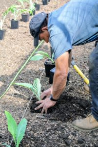 He digs a hole so that the plant goes deeply into the ground – the root ball and almost half the stem should be buried.