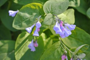 Mertensia virginica, or Virginia Bluebells, will grow to a height of 18 to 24 inches tall, so they're great naturalization plants for use behind other, smaller ones. They do best in peaty, sandy soil, but once planted, they require very little maintenance.