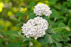 Here is another viburnum with its pretty spherical blooms. Most viburnums grow in any moderately fertile, moist but well-drained soil in full sun to partial shade.