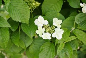 Most viburnums flower in spring. The sometimes-fragrant flowers range from white and cream to pink-flushed or wholly pink.