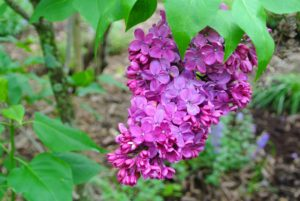 When selecting a location for lilacs, choose one that has good air circulation to reduce the likelihood of fungal diseases, such as powdery mildew.