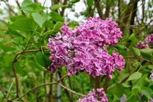 To dry lilacs, gather a bunch of freshly cut flowers and bind together with a rubber band. Hang them upside down in a cool place for one to three weeks.