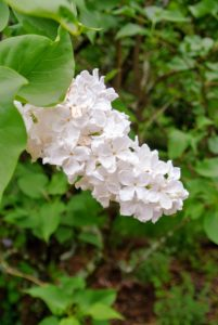 If enjoying them as cut flowers, cut the lilacs right at their peak, when color and scent are strongest, and place them in a vase as soon as possible.