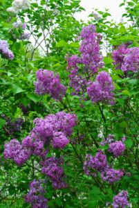 And, although lilacs display flowers among the most delicate of the ornamentals, some newer hybrid varieties can survive winter temperatures of 60-degrees-below-zero Fahrenheit.