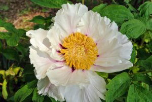 The flowers of the tree peony are usually much larger than its herbaceous peony cousins, but both are available in single and double forms.