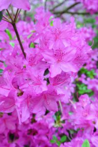 And never eat azaleas. Like its cousin the rhododendron, the azalea is a toxic plant, and all parts of the plant are poisonous, including the honey from the flowers.