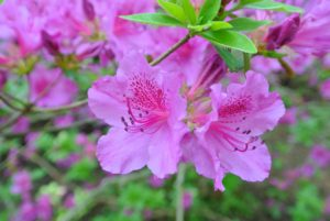 Azaleas are native to several continents including Asia, Europe and North America. These plants can live for many years, and they continue to grow their entire lives.