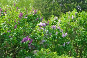 By planting an assortment, bloom time will be staggered and can last for up to two-months.