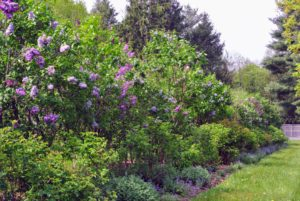 Lilacs – filled with color and fragrance – make a wonderful addition to any garden.