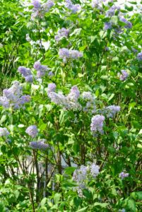 They're also low maintenance and easy to grow. In fact, they can grow from five to 20-feet tall or more depending on their variety.