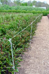 The twine is wrapped taut around each row - this will hold those heavy blooms very nicely.