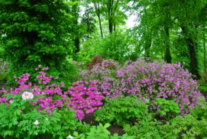 Azaleas have short root systems, so they can easily be transplanted in early spring or early fall. Be careful not to plant too deep and water thoroughly after transplanting.