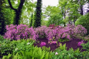Azaleas thrive in moist, well-drained soils high in organic matter. Morning sun and afternoon shade is ideal.