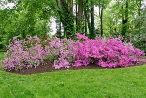 My azalea collection is in a lightly wooded area where they get filtered sunlight through the day.
