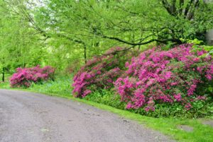 Prune azaleas after they bloom to remove tall, lanky growth or vigorous suckers that detract from the overall form and shape of the plant.