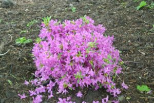 I recently bought several of these pink azaleas. They are already blooming so wonderfully.