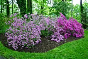 Plant height ranges from about three to six feet for most varieties, but rare plants can range from under one foot to well over 15-feet tall.
