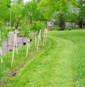 I wanted the new row of trees to be planted slightly behind the existing row and spaced evenly between the trees, so they alternated in color. The grounds crew started by mowing the grass behind the trees. Wooden stakes planted next to each seedling protects it from mowers, weed whackers and snow plows. We stake all our young trees at the farm.