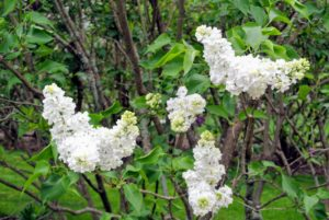 'Angel White', which reaches 10-12 feet tall, bears an abundance of fragrant, pure-white blooms, and thrives as far south as hardiness zone 8.