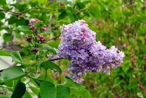 Lilacs should be pruned each year shortly after blooming has completed. At that time, remove spent flowers, damaged branches and old stems.