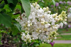 Young lilacs can take up to three-years to reach maturity and bear flowers, so be patient.