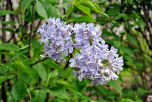 """The lilac is known as the """"queen of shrubs"""" and the name lilac comes from the Persian word meaning bluish."""