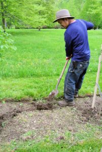 There are about 25-Styrax 'Evening Light' trees, which will fit perfectly in this area. The soil was already moist after recent rains, so it was easier to dig the holes.