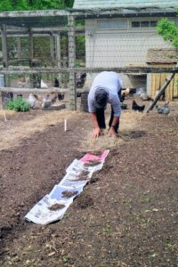 Here is Carlos putting down salt hay in between the garden beds. The newspaper is placed first to deter any weeds from growing. Salt hay, or salt marsh hay, consists of grasses harvested from salt marshes. Their wiry stems do not mat down or rot as quickly as straw, and any seeds that are present will not germinate because they require wet, saline soil.