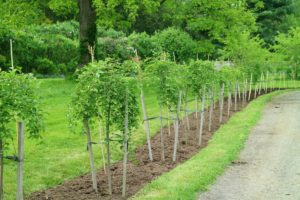 Here is the other side - both rows of trees will look stunning when mature.