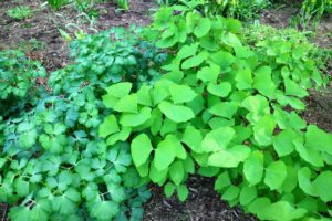 Here is a clump of twinleaf next to a clump of columbine - the different shades of green look so pretty together.