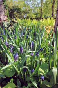 These beautiful flowers are planted as bulbs and tend to naturalize quickly in good soil. They prefer well-drained sandy soil that is acid to neutral.