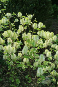 Fothergilla is a slow-growing, deciduous ornamental shrub that is native to moist lowland coastal plain bogs and savannahs in the southeastern U.S. from North Carolina to the Florida panhandle and Alabama. It grows two to three feet tall and as wide. The whimsical flowers are bottlebrush-like spikes that bloom in spring.