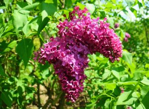 Lilacs have pyramidal clusters of blossoms with both single and double varieties – all with glossy green leaves.