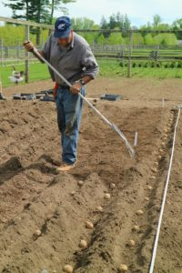 Carlos backfills the trenches with the same nutrient-rich soil, fully covering the potatoes at least four-inches. Potatoes do best in well-drained, loose soil, and consistent moisture.