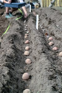 Trenches should also be at least one to two feet apart to give the potato plants ample room to develop.