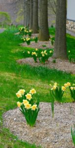 Narcissus bulbs follow an annual cycle, which includes the chilling time, flowering period, and a phase of rest and recuperation while the bulb gathers strength to produce a flower the next year. This period starts as soon as the flower fades.