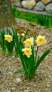 Depending on the type of cultivar and where it was planted, the daffodil's flowering season can last up to several weeks.