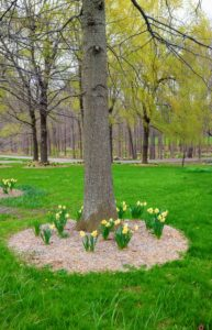 When I first received the 'Martha Stewart' daffodil bulbs, they were planted under six willow trees at the end of the Pin Oak Allee behind my Equipment Barn.