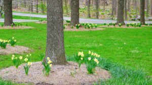 The daffodils in the willow grove were the first to open. Narcissi tend to be long-lived bulbs, which propagate by division, but are also insect-pollinated.