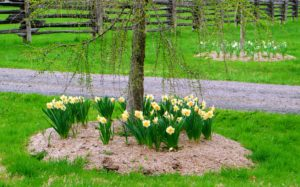 Here is a closer look at the daffodils under the weeping larch tree - they look so pretty under the drooping branches.