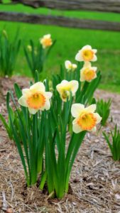 These flowers contain a toxic sap that's harmful to other flowers. When cutting daffodils for arrangements, don't mix them unless the daffodils have been soaking in water for 24-hours.