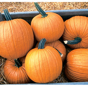 Other pumpkins we are planting in this area include 'Racer' - highly uniform 12 to 16-pound fruits with slightly-flattened shapes, great-looking ribs, and strong dark-green handles. (Photo from Johnny's Selected Seeds)