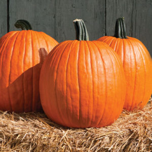 'Cargo' pumpkins are robust hybrid fruits with strong handles and beautiful rich orange color.