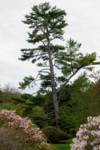 """This tall leaning tree, Pinus strobus, the native white pine, is an example of cloud pruning, or niwaki, where certain limbs are removed to create a unique form. Niwaki is the Japanese word for 'garden trees' and used often to describe """"sculpting trees"""". Below is a Rhododendron schlippenbachii, the Royal Azalea, on the left, and Rhododendron vaseyi, the Pink Shell Azalea, on the right."""