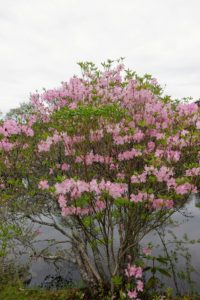 This is a Rhododendron schlippenbachii, 'Royal Azalea' - a species native to the Korean Peninsula and regions of Manchuria. This is a dense deciduous shrub with white to pink flowers and often, small red spots on the upper three petals. The 'Royal Azalea' has fragrant, pink blooms in spring. It grows well in temperate climates with adequate rain and prefers full sun.